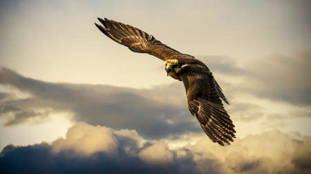 A beautiful hawk in flyght Stock Photo