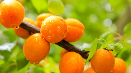 Fresh wet apricots on the branch