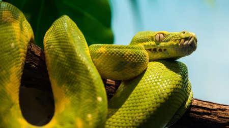 vivarium: A beautiful green python