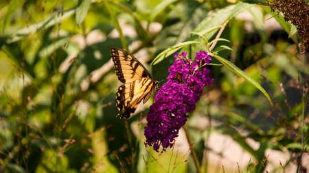 A beautiful butterfly on a purple flower Stock Photo