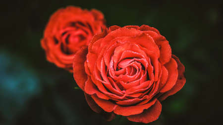 beatiful: Beatiful red roses closeup