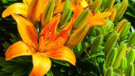 yellow stamens: A beautiful tiger lily
