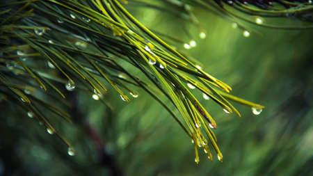 Een natte close-up aan een pijnboom