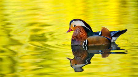 pato real: Colored duck floating on lake