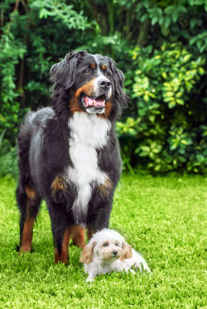 toy poodle and Bernese Mountain Dog in park