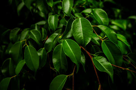 Background, ficus tree with dark clear pictorial lighting. Nature. Banco de Imagens
