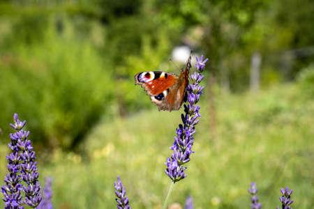 European peacock (Aglais io) on Lavender (Lavandula)