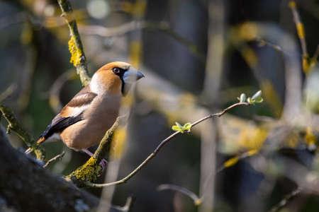 Hawfinch (Coccothraustes coccothraustes) 版權商用圖片