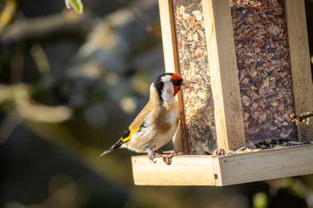 European goldfinch (Carduelis carduelis) at feeder