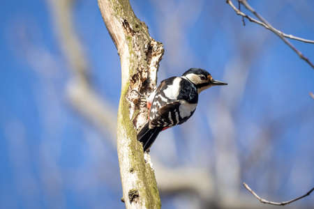Great Spotted Woodpecker (Dendrocopos Major) Foto de archivo