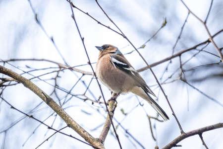 Common Chaffinch (Fringilla Coelebs) sitting on a branch