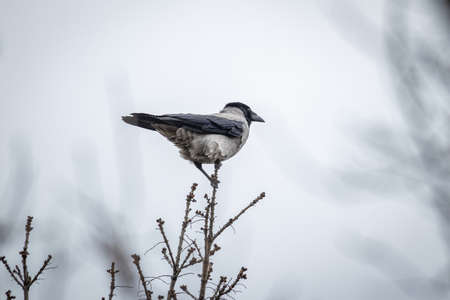 Hooded Crow (Corvus Cornix) on a tree