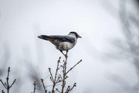 Wrona z kapturem (Corvus Cornix) na drzewie