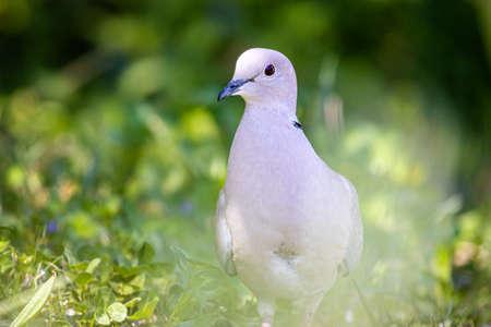 Eurasian collared dove (Streptopelia decaocto) Stockfoto