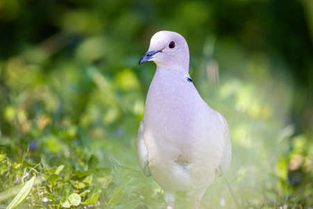 Eurasian collared dove (Streptopelia decaocto) Foto de archivo
