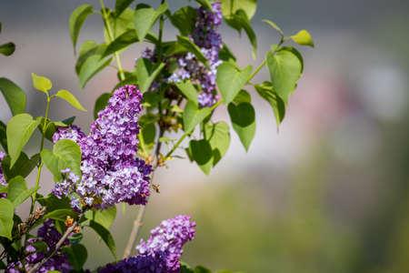 Syringa vulgaris (lilac or common lilac) in the garden