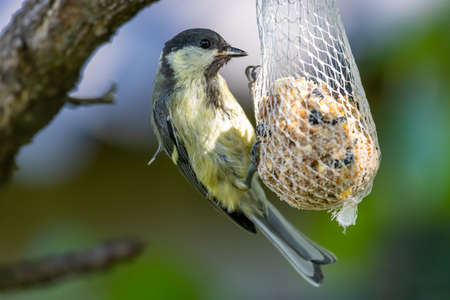Young Great Tit (Parus major) on the feeder in the garden 版權商用圖片