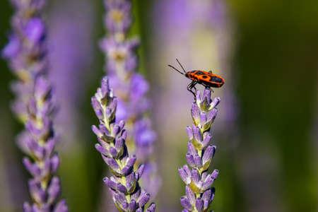 Firebug (Pyrrhocoris apterus) on Lavender (Lavandula) in the garden