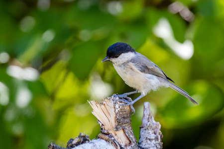 Marsh tit (Poecile palustris) sitting on a branch Stock fotó