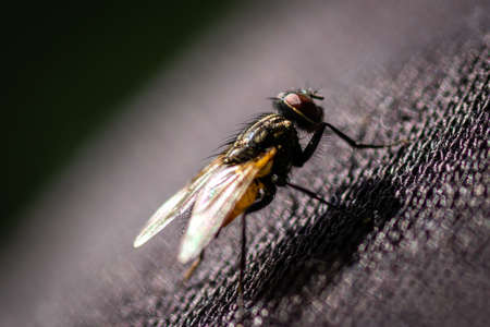 Housefly (Musca domestica) macro on a black texture Stock Photo