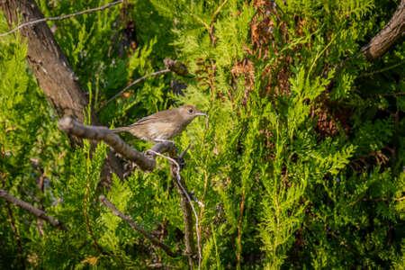 Eurasian blackcap (Sylvia atricapilla) on Thuja in the garden 版權商用圖片