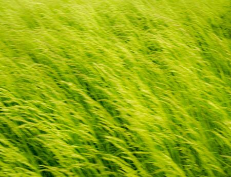 Summer wind in the grass.Abstract blurred nature background. Green bokeh out of focus background