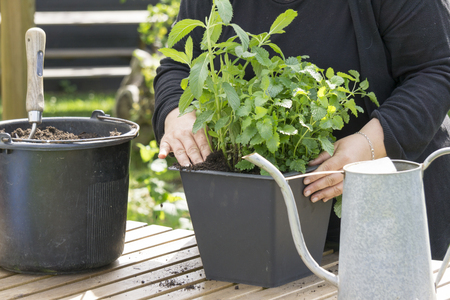Planting flowers into flower beds in the garden. Selective focus. Stock Photo