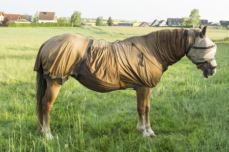 Sweet itch - Full body fly protection, including a mask, for the sensitive horse Stok Fotoğraf - 83232232