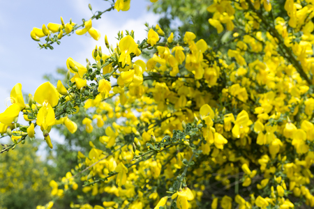 A close-up shot of the yellow blooms of a genista maderensis bush. Stock Photo