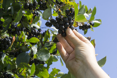 Hand picking ripe aronia berry fruit from the branch, selective focus Stock Photo