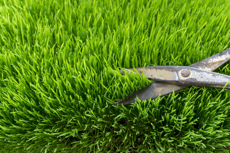 cutting English lawn with a scissors