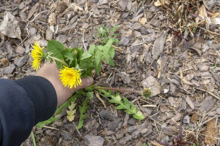 Hand pulling up dandelion weed. Close up view on hand pulling up single dandelion weed from patch of garden soil