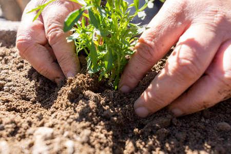 Farmer planting seedling in organic garden. Standard-Bild