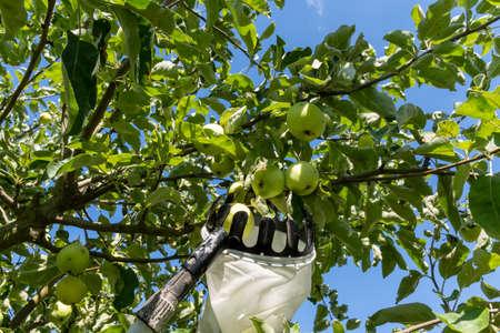 Gardener picks fresh apples from a tree, in July