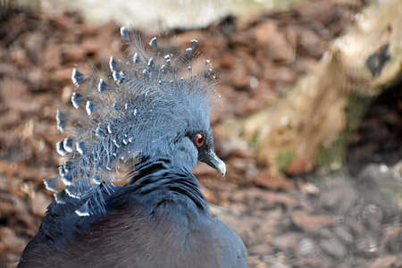 Beautiful exotic bird, Victoria Crowned Pigeon or Goura Victoria.