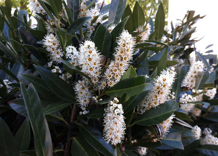 Flowers and foliage of Prunus Laurocerasus also known as Cherry Laurel, in the garden. 版權商用圖片