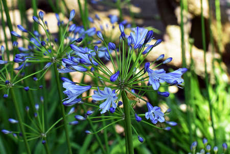 Flowers of Agapanthus Africanus or African Lily, in the garden. 版權商用圖片