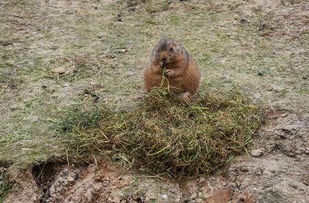 Little cute Gopher eating grass.
