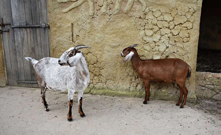 Cute goats at the zoo.