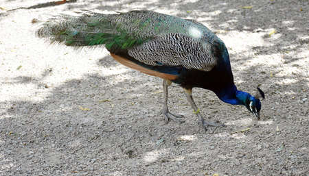 The Indian Peafowl or Blue Peafowl, Pavo Cristatus, a large and brightly coloured bird.