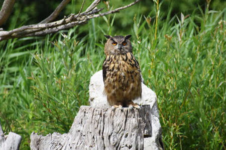 The Great Horned Owl, Bubo Virginianus, also known as the Tiger Owl, standing on a tree stump.