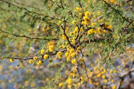 Acacia yellow flower