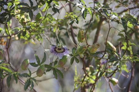 passion fruit flower: Maracuya flower Stock Photo