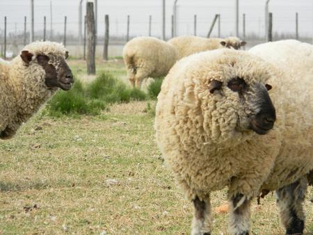 sheep farm in pampas argentina, province of santa fe