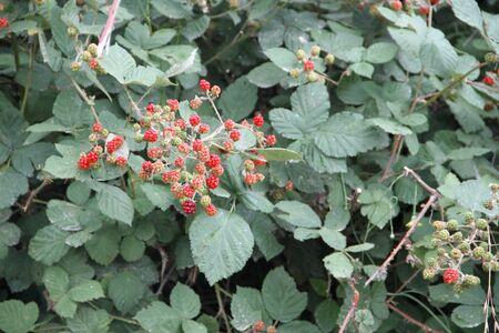 wild raspberries in the sierras in summer