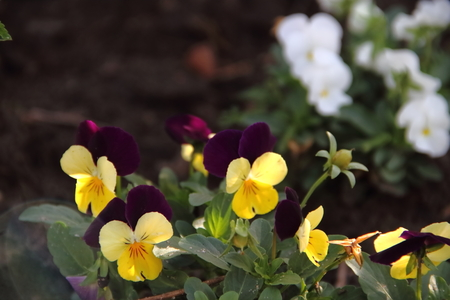 garden flowers pansy celstes lilacs and yellows in spring