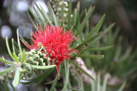 Red Callistemon bloomed in spring