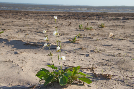 white and yellow flower on the beach in the city of federation province of entre rios argentina