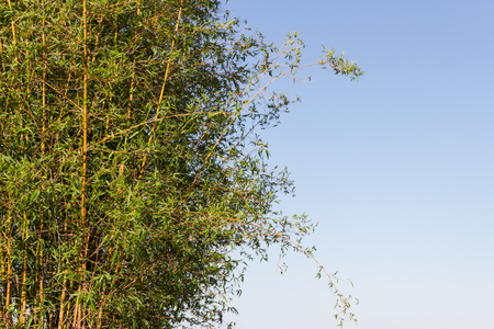 bambu cane on the banks of the river in the city of federation province of entre rios argentina