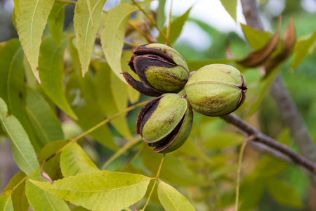 pecan nuts in the organic garden plant Stockfoto